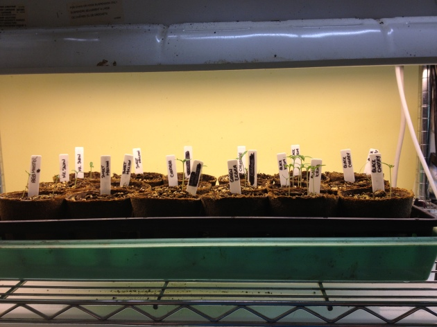 Tomato Seedlings as of February 25, 2013