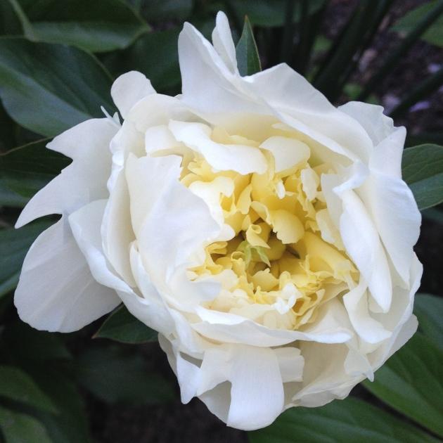 My First Peony Blossom